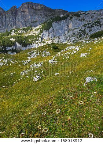 Alpine Silver thistle flower (Carlina acaulis) growing at Rofan, Brandenberg Alpine pasture in Tyrol, Austria with blurred mountain range during Autumn, Europe