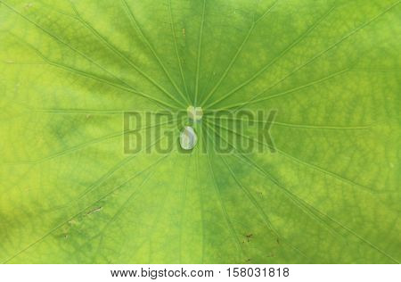 Drop of Water dew on Lotus Leaf in the morning.