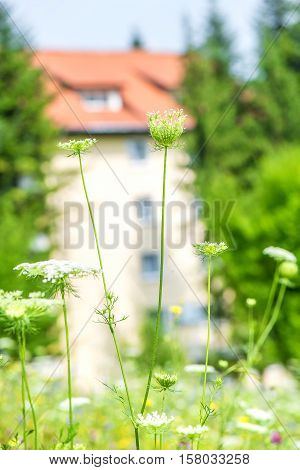 Close up of yarrow flower with house in background