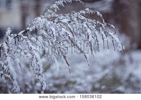 Wormwood bush in the snow. early winter