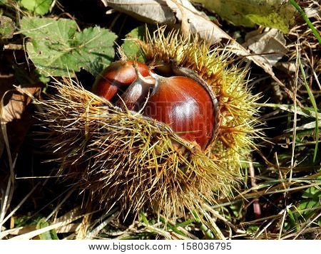 Chestnut in peel, nutshell in garden after harvest
