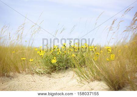 Yellow wild flowers in the dead dunes (Nida Klaipeda)