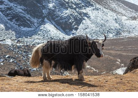 Big Black Nepali Yak With White Tail Looks Into The Camera In Remote Himalayan Village. Domestic Yak