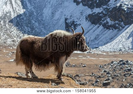 Big Brown Nepali Yak With White Tail Looks Into The Distance In Remote Himalayan Village. Domestic Y