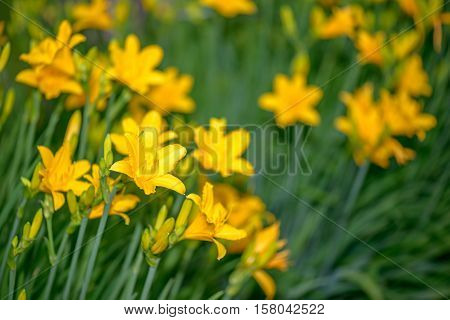 Beautiful bright yellow lilies and green leaves in garden