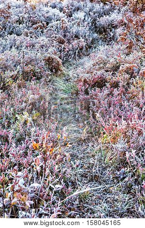 Icy frost on blueberry bush trail path illuminated by morning sunlight at Dolly Sods, West Virginia