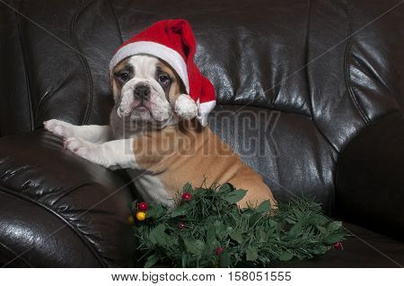 Young english bulldog wearing santa hatsitting on on black leather sofa. Text space