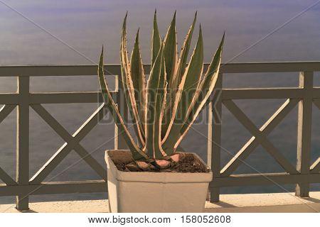 Plant in a pot - Santorini, Oia,  Greece. Toned Image