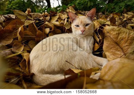 Lazy Cat Lying on the Heap of Dry Yellow Autumn Leaves