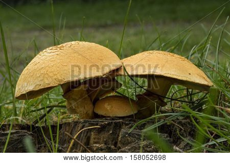 Spectacular Rustgill mushrooms in the forest