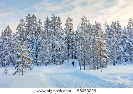 Skiing trail in beautiful winter forest and one skiing man - big trees covered snow, ski resort, Finland, Lapland