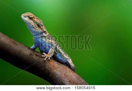 Lizard In Wildlife Sitting On The Tree Branch At Tropical Island Over Green Background