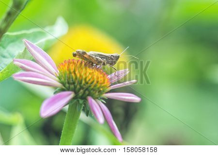 Meadow Grasshopper (Chorthippus parallelus). Macro photograph of a brown grasshopper sitting on Echinacea purpurea flower (eastern purple coneflower) in garden against green natural background.