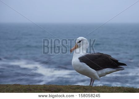 Black-browed Albatross (Thalassarche melanophrys) standing on a grassy slope on the cliffs of Saunders Island in the Falkland Islands.