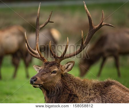 Roosevelt Bull Elk with Antlers, Portrait, Outdoor, Color Image