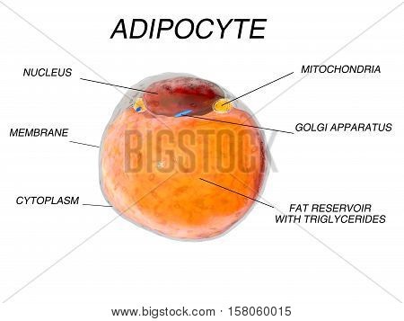 Fat Cells from adipose tissue. adipocytes. 3d render