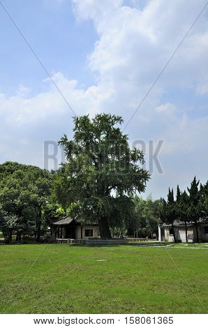 A 1500 year old gingko biloba tree at Baosheng Temple in Luzhi Town in Jiangsu province China.
