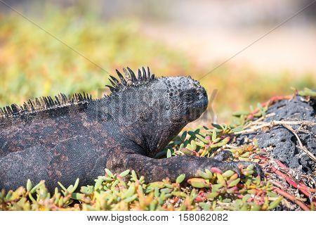 Marine iguana portrait, endemic to the Galapagos Islands, Ecuador