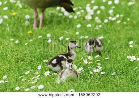 Cute Baby Ducks