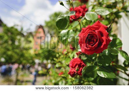 Red Rose Cologne