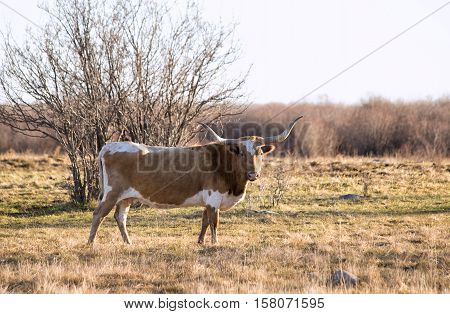 Side profile of one brown and white longhorned female cow standing in front of bush