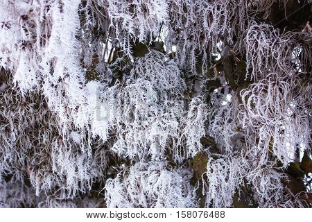 Perfoliate Honeysuckle in frost. winter. Trees in hoarfrost
