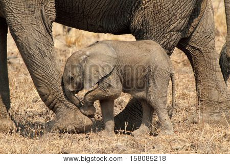 African elephant in Lake Katavi National Park, Tanzania, Africa