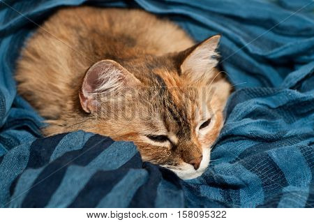 Big Cat Sleeping On Blue Cloth