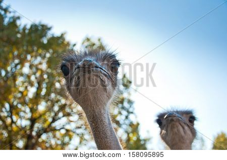 The African Ostrichses
