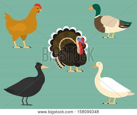 Set of flat birds, isolated on background. different tropical and domestic birds, cartoon style simple birds for logos. turkey, domestic duck. chicken. goose. swan.