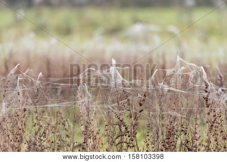 Sheets of spider webs and spiders on vegetation after floods. Rising water levels force spiders to retreat from grass to higher plants covering them in silk on UK farmland