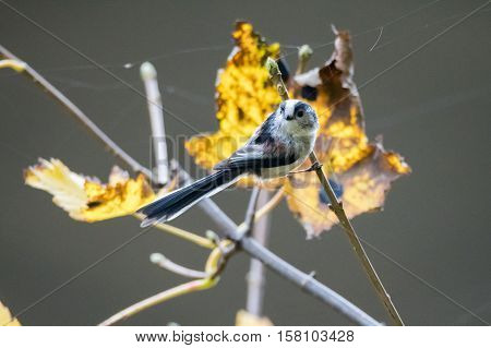 Long-tailed tit (Aegithalos caudatus) perched on twig. Bird in the family Aegithalidae common throughout Europe and Asia sitting in front of yellow autumn leaves