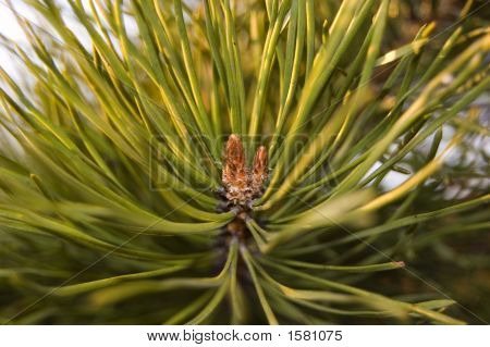 Branch Of A Pine