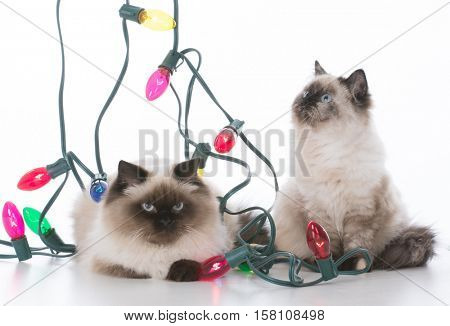 two ragdoll kittens surrounded by colorful lights