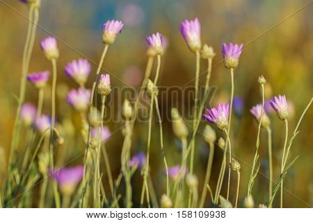 Field of xeranthemum annuum - flowering plant species also known as annual everlasting or immortelle. Native to eastern Europe and western Asia