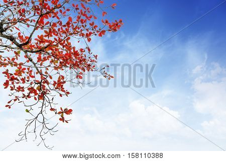 red and orange leaves tree in autumn with cloud and blue sky