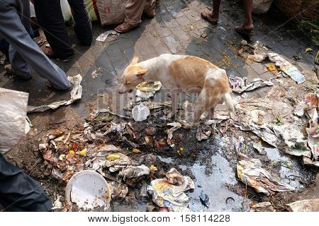KOLKATA, INDIA - FEBRUARY 10: Streets of Kolkata. Dog in trash heap in Kolkata, India on February 10, 2016.