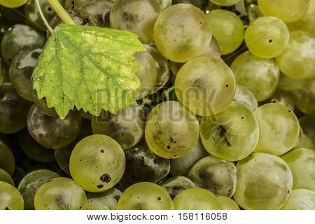 small grapevine, fruits, food, plant, green, brown, nature, sunlight, landscape, time, white, structure, summer, rural, field, plant, leaves, closeup, frame, energy, wire, color, food, sweet, beauty, season, growth, wine, agriculture, traditional, rows, g