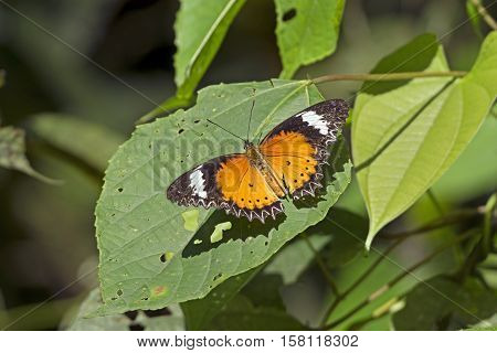 Orange Lacewing Butterfly in Assam India in the forest