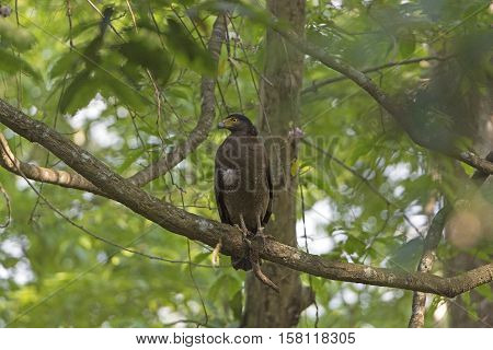 Crested Serpent Eagle in a Tree in Karizanga National Park in India