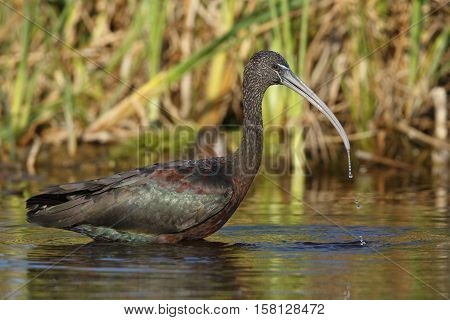 Glossy Ibis Foraging In A Pond - Florida