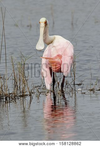 Roseate Spoonbill Wading In A Shallow Pond - Florida