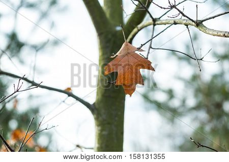 Dry Oak Leaves In Autumn