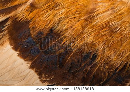 red abstract plumage cockerel background feathers closeup