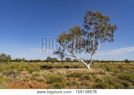Ghost gum in the Western Australian outback - Pilbara region, Western Australia, Australia