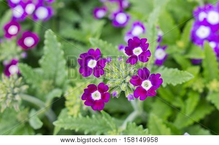 Julia primrose Primula juliae beautiful spring flowers.