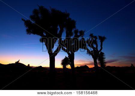 Sunset over Joshua Tree, Joshua Tree National Park, USA