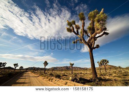 Desert Road with Joshua Trees in the Joshua Tree National Park, USA