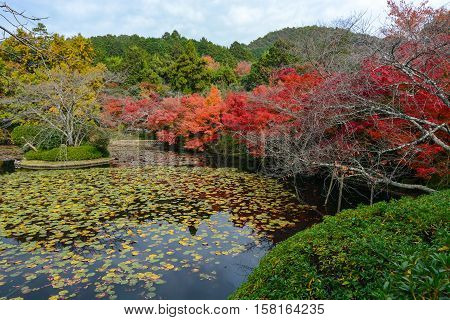 Colorful red maples and a lily pad pond during autumn in Kyoto, Japan