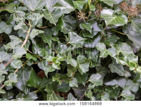 Dark green common ivy which is growing profusely
